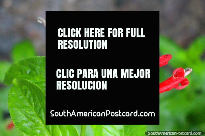 As vagens parecidas a um tubo vermelhas e as folhas verde-vivas na borboleta instalam-se em Paramaribo, Suriname. (720x480px). As 3 Guianas, América do Sul.