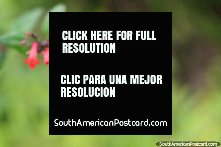 Vainas de púrpura y rosa, la vida vegetal en el parque de mariposas en Paramaribo, Surinam. (720x480px). Las 3 Guayanas, Sudamerica.