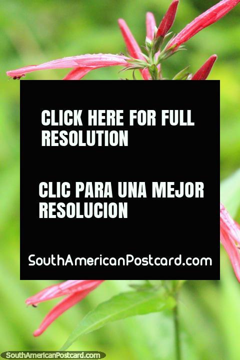 Vagens de flor rosa finas, a vida de planta na borboleta instala-se em Paramaribo, Suriname. (480x720px). As 3 Guianas, América do Sul.