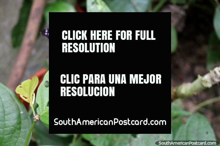 Mariposas rojas, negras y blancas en las hojas en el parque de mariposas en Paramaribo, Surinam. (720x480px). Las 3 Guianas, Sudamerica.