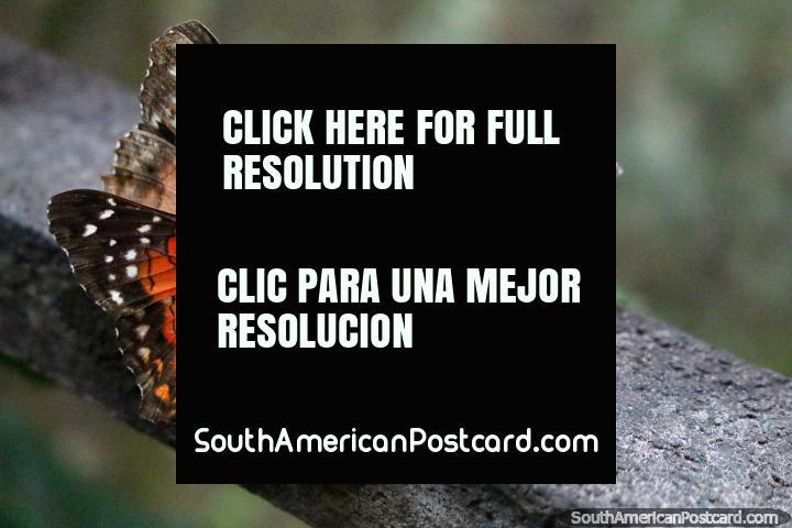 Un grupo de mariposas se alimentan de una tapa de plástico en el parque de mariposas en Paramaribo, Surinam. (720x480px). Las 3 Guianas, Sudamerica.