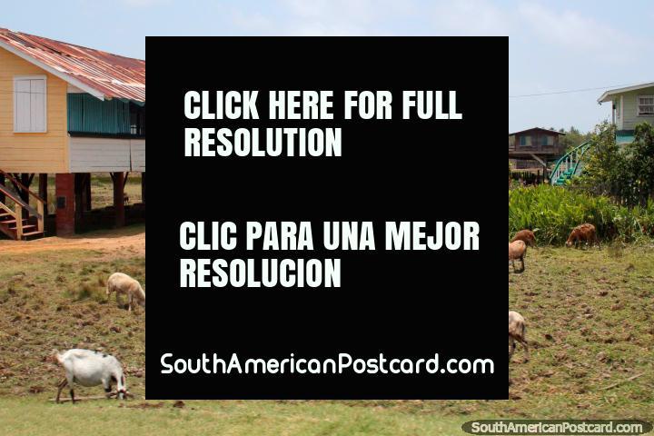 Ovelhas e cabras no gramado dianteiro de uma casa, o carro senta-se no seu lado, entre Nova Amsterdam e Georgetown, a Guiana. (720x480px). As 3 Guianas, América do Sul.