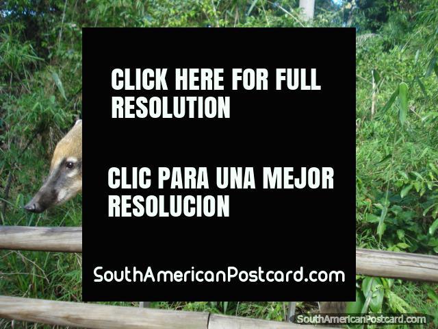 A coati at Iguazu. (640x480px). Argentina, South America.