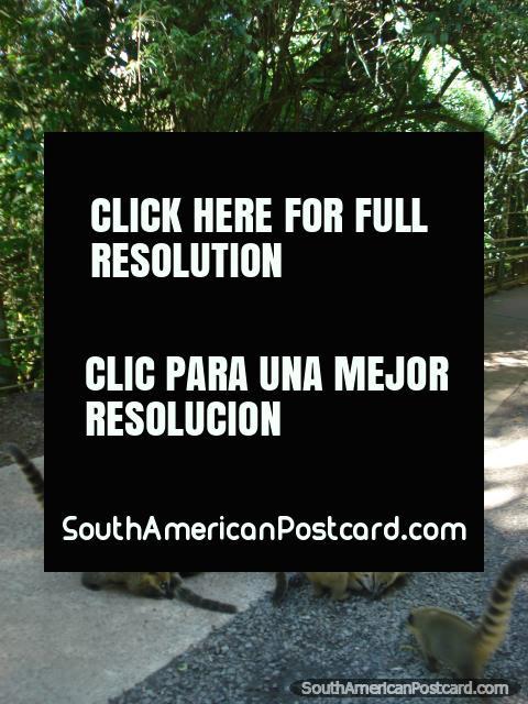 Dando aos guaxinins algo para comer, Iguaçu. (480x640px). Argentina, América do Sul.