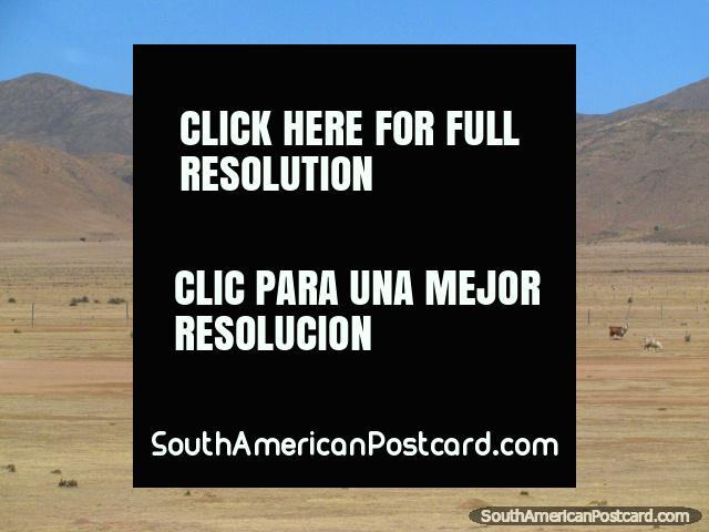Llamas en las llanuras al sur de La Quiaca. (640x480px). Argentina, Sudamerica.