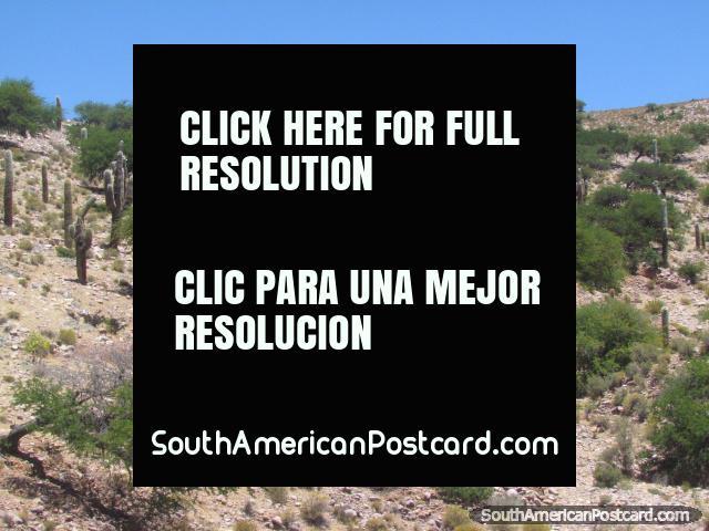 Colina del cactus al norte de Humahuaca. (640x480px). Argentina, Sudamerica.