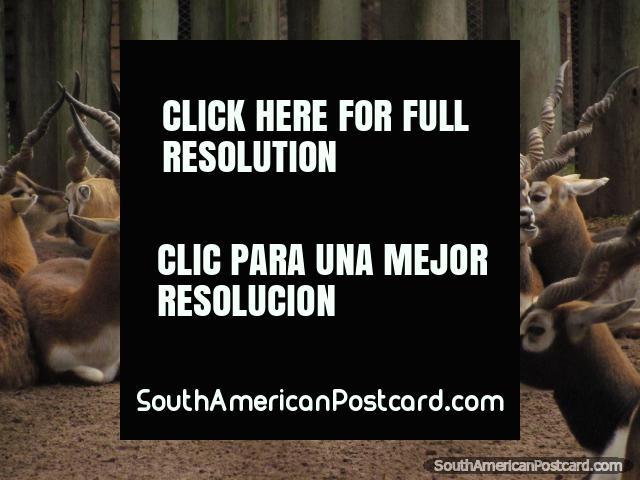 Animales con cuernos rayados tortuosos en el Zooilógico de Buenos Aires. (640x480px). Argentina, Sudamerica.