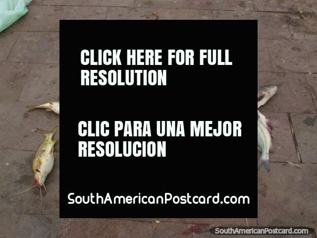 O pequeno peixe-gato entendeu a borda de Rio Paraná em Rosario. (640x480px). Argentina, América do Sul.