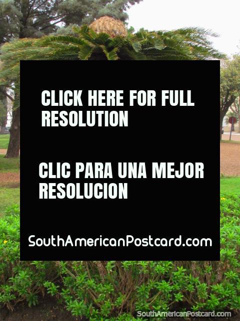 Palmeira parecida a um guarda-chuva em Praça Artigas em Colon. (480x640px). Argentina, América do Sul.