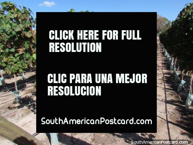 Some of the vineyards at Bodega Domiciano in Mendoza.  (640x480px). Argentina, South America.