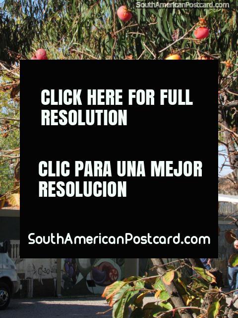 Rojo / fruto de naranjo en los jardines de fábrica de aceite de oliva de Pasrai en Mendoza. (480x640px). Argentina, Sudamerica.