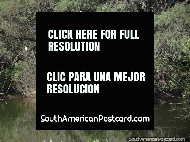 Grande grupo de talos brancos em uma árvore em pampas em Talapampa. (640x480px). Argentina, América do Sul.