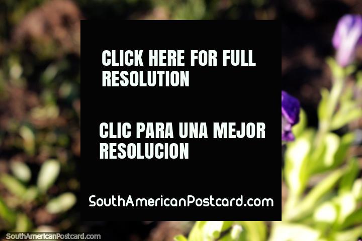 Purple flower in the gardens of the school in El Bolson - Escuela No 270. (720x480px). Argentina, South America.