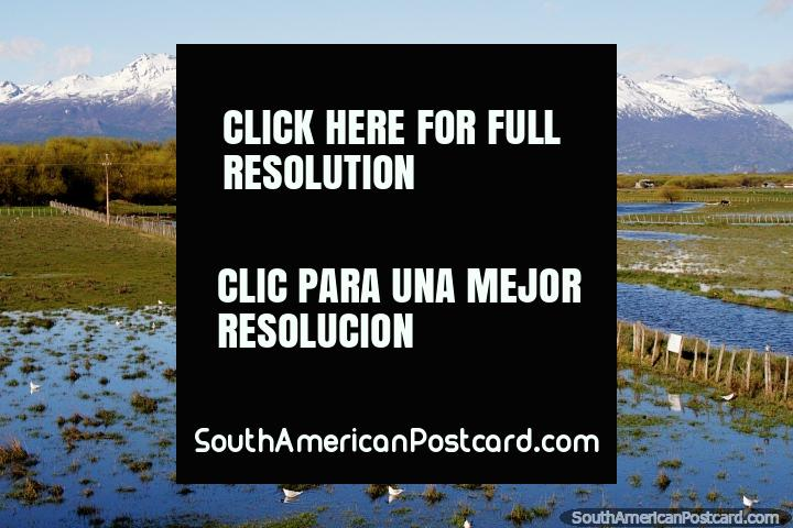 Tierras de cultivo acuáticas con aves, vacas y montañas nevadas distantes en Trevelin. (720x480px). Argentina, Sudamerica.