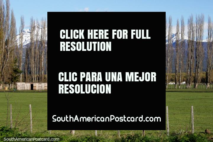 Linha atordoante de altas árvores em terra de cultivo verde, um par de cavalos e montanhas cobertas de neve em Trevelin. (720x480px). Argentina, América do Sul.