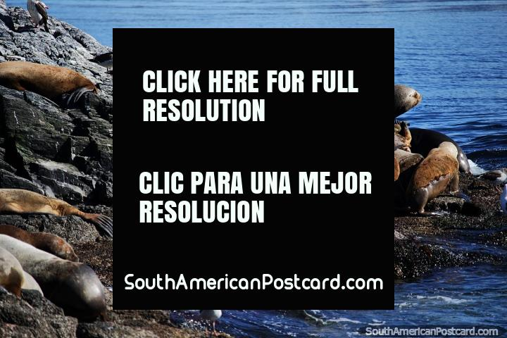 Puedes ver cientos de focas alrededor de las rocas en las islas de Ushuaia. (720x480px). Argentina, Sudamerica.