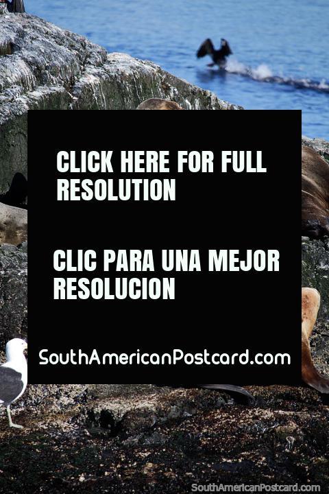 Las focas se divierten durmiendo y jugando en las islas rocosas del Canal Beagle, Ushuaia. (480x720px). Argentina, Sudamerica.