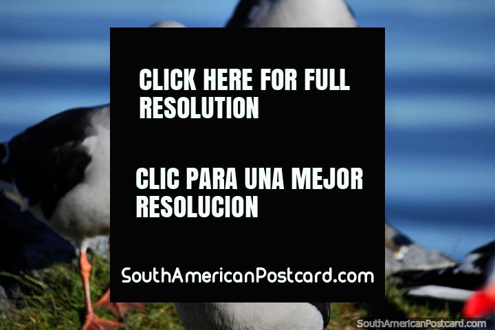 Grey and black seagulls are quite friendly, tamer than the white ones in Ushuaia. (720x480px). Argentina, South America.