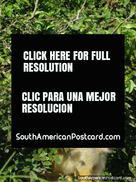Pequeños monos de la Ardilla atrevidos en un árbol en Rurrenabaque. (480x640px). Bolivia, Sudamerica.