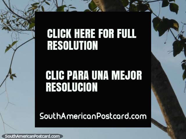 Ave del paraíso de Hoatzin en Rurrenabaque. (640x480px). Bolivia, Sudamerica.