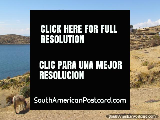 Donkeys on the hill of Isla del Sol at Lake Titicaca. (640x480px). Bolivia, South America.
