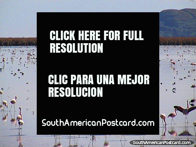 1000's of flamingos in the wetlands between Oruro and Uyuni by train. (640x480px). Bolivia, South America.