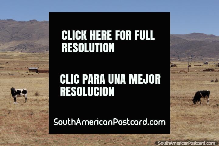 Vacas, casas de adobe y las colinas alrededor de Tiahuanaco. (720x480px). Bolivia, Sudamerica.