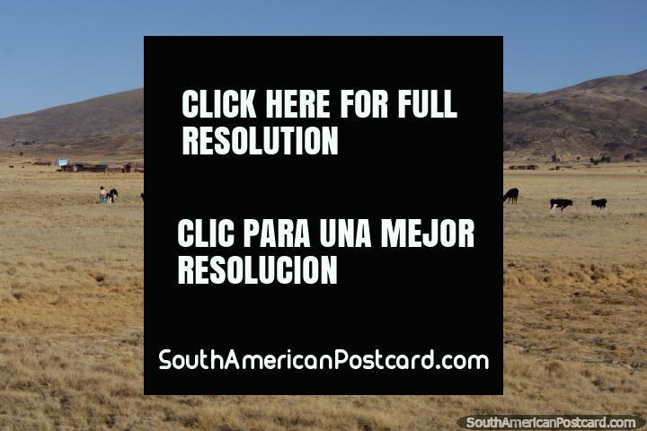 Tierras de cultivo y animales entre Tiahuanaco y La Paz. (720x480px). Bolivia, Sudamerica.