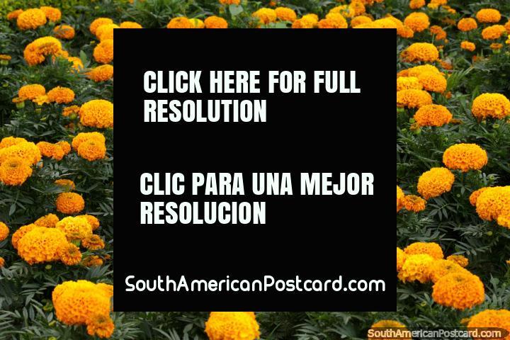 Un jardín de flores de naranja esponjoso en el parque en el centro de Cochabamba. (720x480px). Bolivia, Sudamerica.