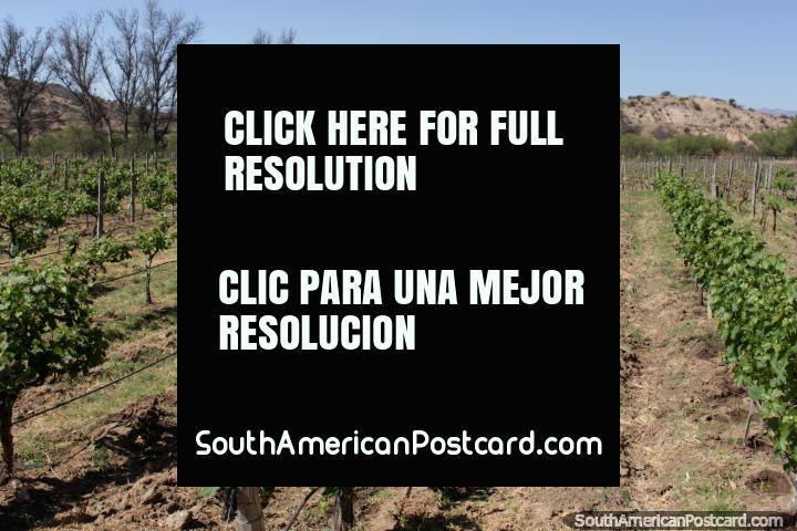 Young vines growing at Kohlberg Vineyard in Tarija. (720x480px). Bolivia, South America.