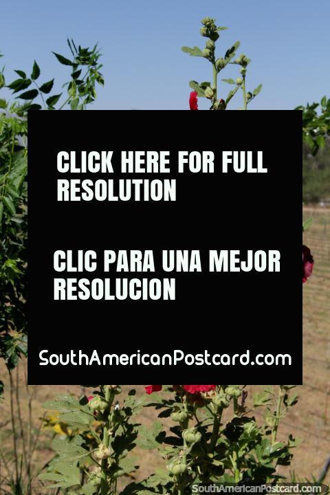 Flowers in the gardens beside the vineyards at Kohlberg in Tarija. (480x720px). Bolivia, South America.