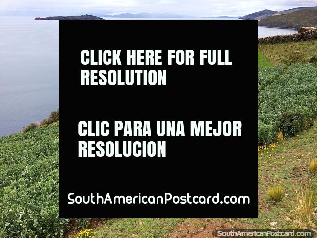Large coca field growing on the banks of the Island of the Sun in Copacabana. (640x480px). Bolivia, South America.