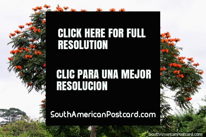 Tree with bright orange and red flowers at Pinata Park in Cobija. (720x480px). Bolivia, South America.