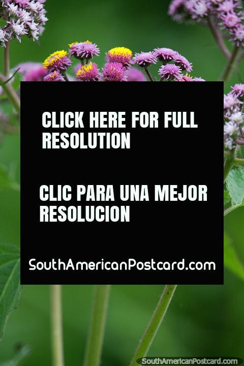 Las flores de color púrpura y amarillo iluminan el fondo verde en la cuenca del Amazonas en Trinidad. (480x720px). Bolivia, Sudamerica.
