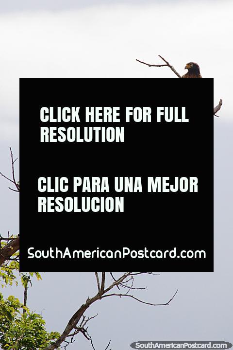 Uma Águia empoleirou-se alto em um topo de árvore acima do rio e áreas alagadas em volta de Trinidad. (480x720px). Bolívia, América do Sul.