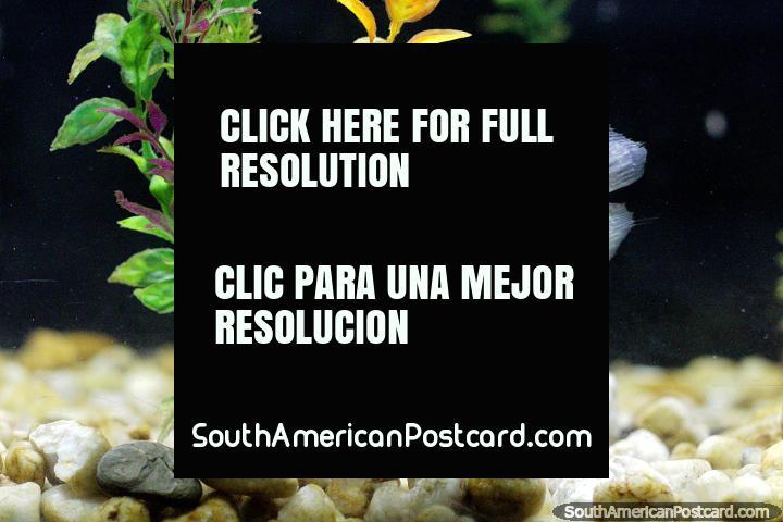 Peixe cinza em um aquário em Museu Icticola em Trinidad. (720x480px). Bolívia, América do Sul.