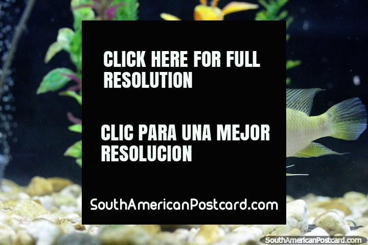 Yellow fish in the aquarium at museum Museo Icticola in Trinidad. (720x480px). Bolivia, South America.