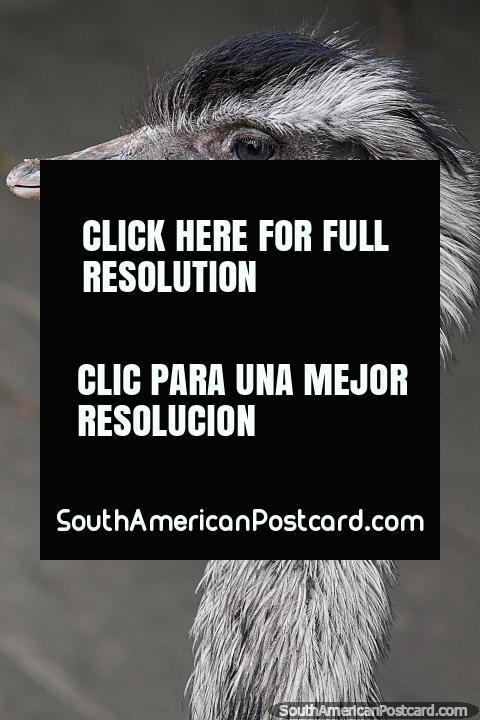 Una rhea, encontrada en espacios abiertos y tierras bajas de Sudamérica, en el zoológico de Santa Cruz. (480x720px). Bolivia, Sudamerica.