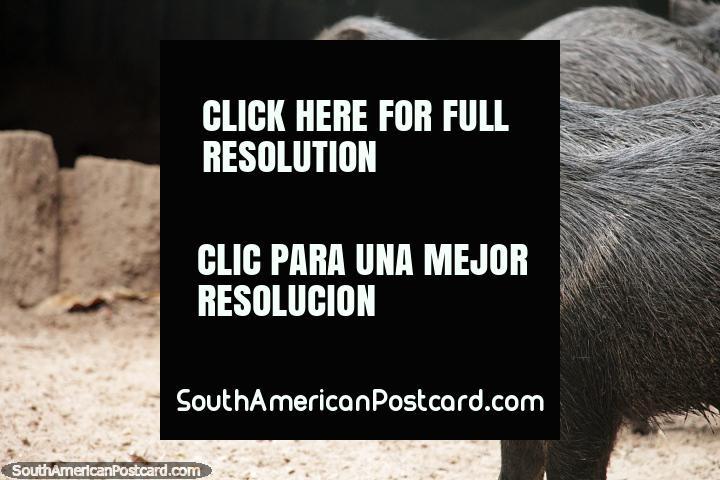 Pecari pigs, bristly with triangle-shaped heads, Santa Cruz zoo. (720x480px). Bolivia, South America.