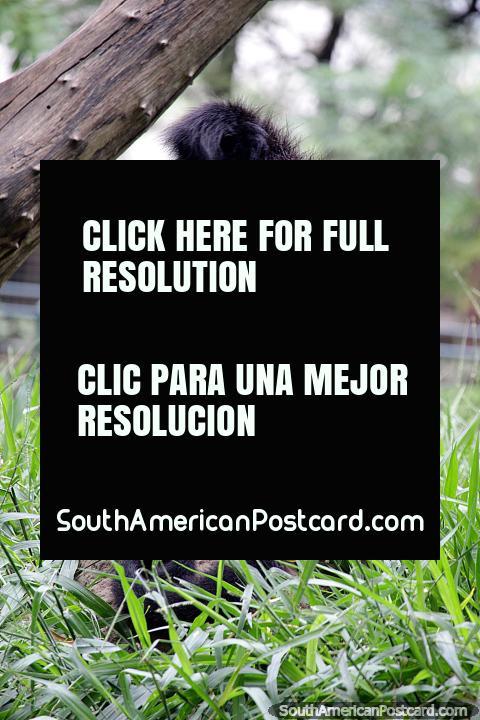Spider monkey, completely black, found in Bolivia, Brazil and Peru, live for 40yrs, Santa Cruz zoo. (480x720px). Bolivia, South America.