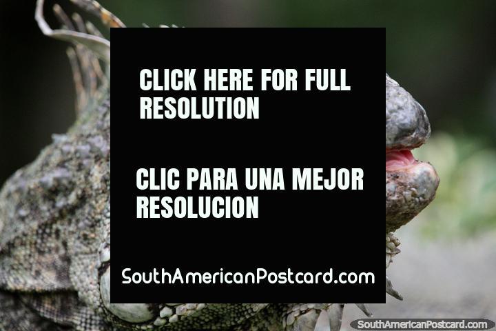 An iguana, an amazing reptile, scales and rough skin, Santa Cruz zoo. (720x480px). Bolivia, South America.