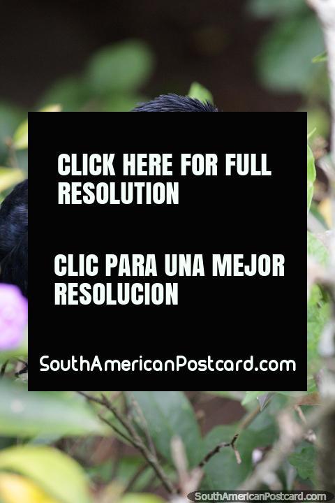 Crow, dark black bird with shades of blue at the bird sanctuary at Santa Cruz zoo. (480x720px). Bolivia, South America.