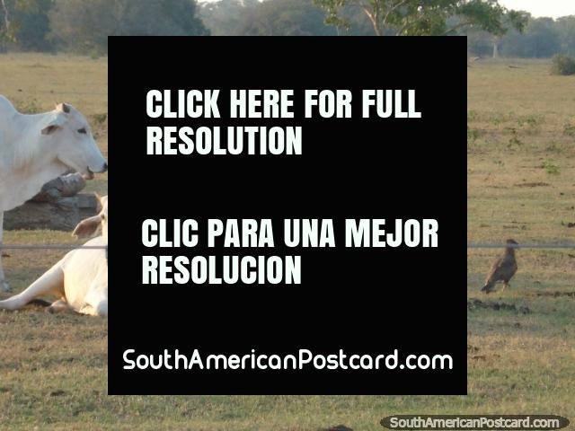 A pair of white cattle in a field in the Pantanal. (640x480px). Brazil, South America.