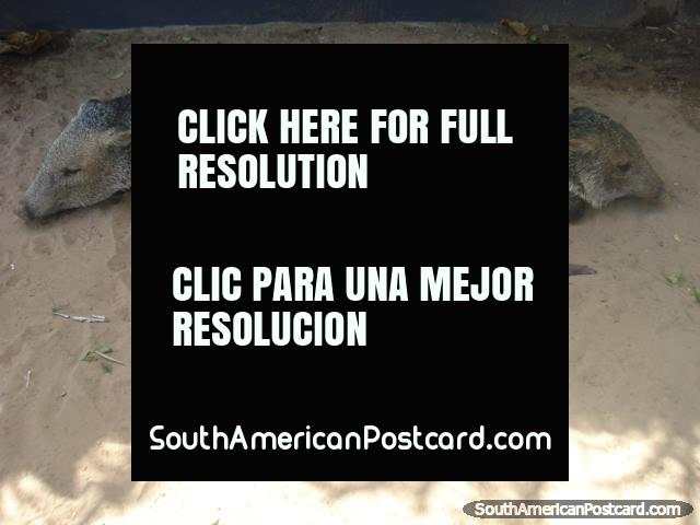 The 3 little pigs at Santa Clara farm, Pantanal. (640x480px). Brazil, South America.