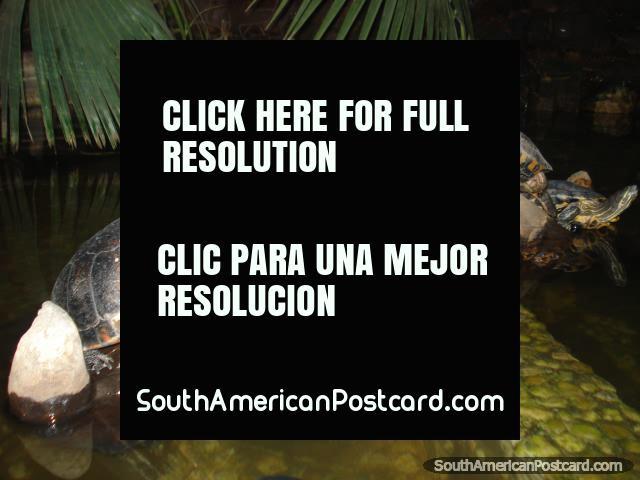 Turtles on a wooden bridge. (640x480px). Brazil, South America.