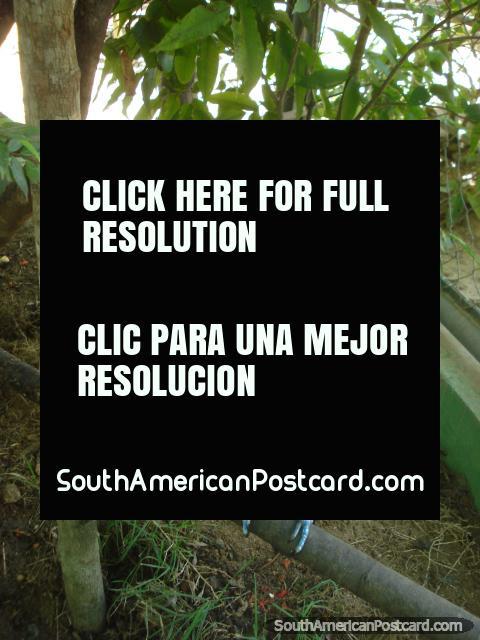 Tucan at CIGS Zoo, Manaus. (480x640px). Brazil, South America.