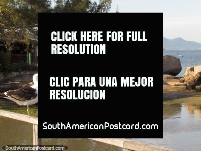 Una gaviota reflexiona que hacer con su (o ella) el día en Florianopolis. (640x480px). Brasil, Sudamerica.