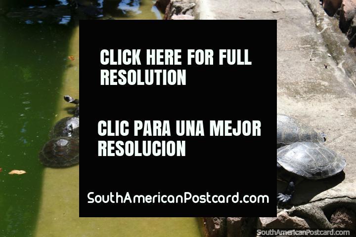 Small turtles in a pond at plaza Praca do Centenario in Santarem. (720x480px). Brazil, South America.
