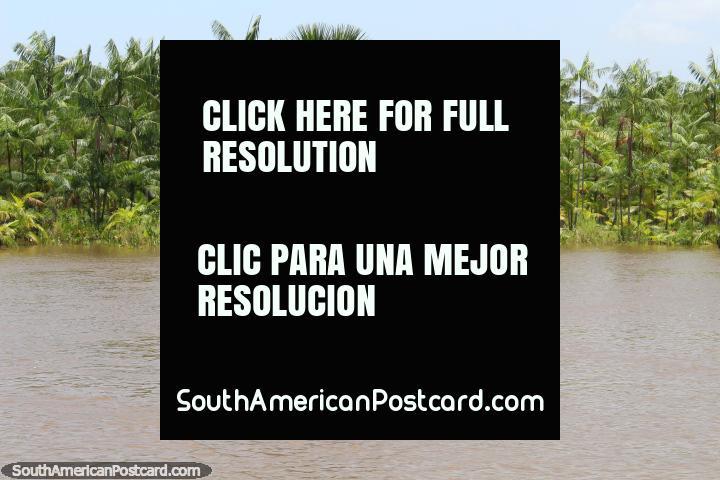 Palmas verde-vivas que rodeiam uma pequena casa de madeira de um telhado coberto com telhas no Amazônia ao oeste de Belém. (720x480px). Brasil, América do Sul.
