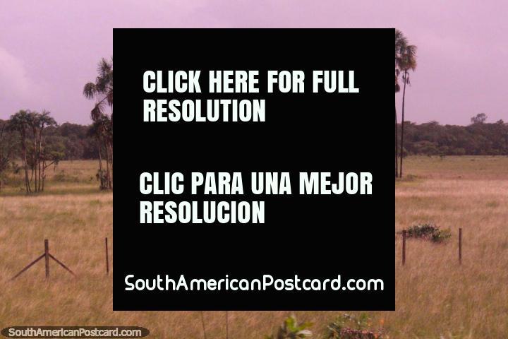 Palms rociada sobre los pastizales entre Macapa y Oiapoque. (720x480px). Brasil, Sudamerica.